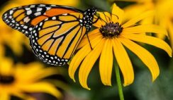 FREE Packets of Flower Seeds for Black Eyed Susans and Butterfly Milkweed