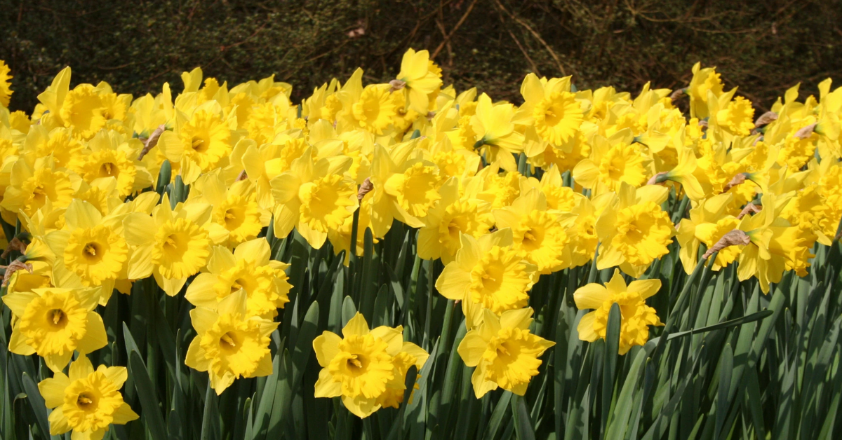 Daffodils Giveaway